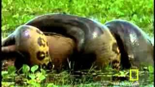 Anaconda attackieren und fressen es Otter