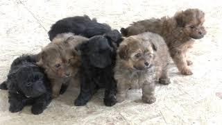 Wayne Schlabach's Pomapoo Puppies