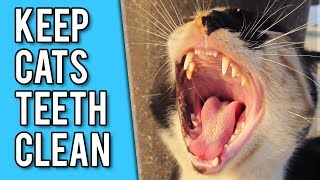 How To Keep Your Cats Teeth Clean: 6 simple strategies