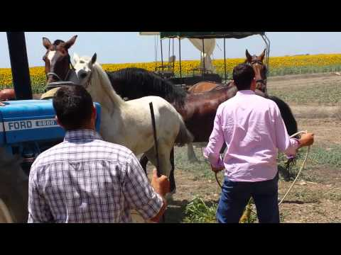 Caballo intenta monta en plena romeria