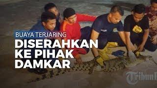 Buaya Terjaring Nelayan di Pantai Carolina Padang Diserahkan ke Pihak Damkar