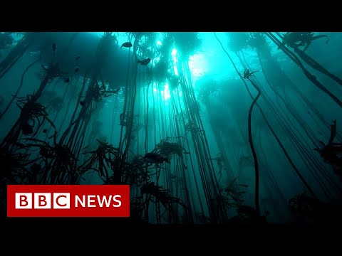 Saving the Octopus Teacher kelp forest - BBC News