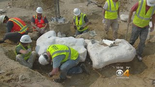 Tooth Of T. Rex Found At Triceratops Dig Site In Thornton
