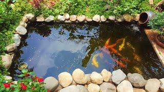 Bí quyết lọc sạch tảo xanh hồ cá Koi - Cách xây hồ cá koi mini ngoài trời [Phần 2]