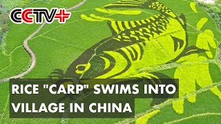 Rice Carp Swims into Village in South China