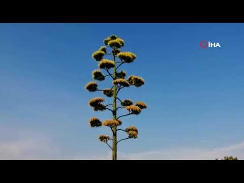 100 yıllık ömründe bir kez çiçek açan Agave kaktüsü Aliağa'da da bulundu