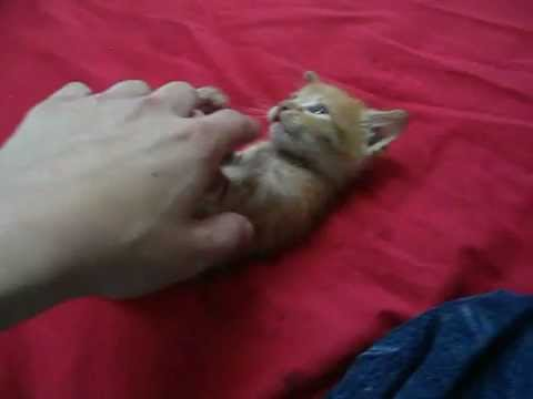 Foster Kitten learning to play