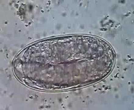 Rosacea worm