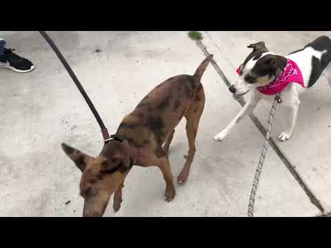 Picasso, an adopted Italian Greyhound & Catahoula Leopard Dog Mix in Long Beach, NY_image-1