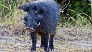 Мир Африки.Животные. Дикие свиньи. Документальный фильм National Geographic.