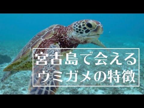 宮古島の海で会えるウミガメの特徴