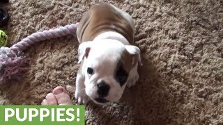 Angry Little Bulldog Throws A Hissy Fit