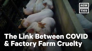 Humane Society On COVID-19 & Factory Farms Correlation | NowThis