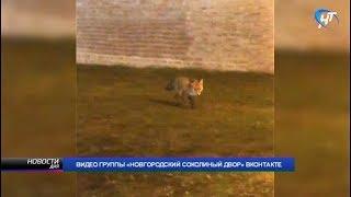 Территорию Детинца облюбовала еще одна лиса