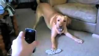Собака испугалась телефона :))