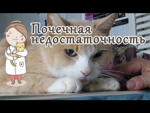 Почечная недостаточность у кота, симптомы. Советы ветеринара