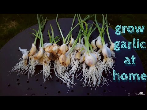 , title : '2020 How To Grow Garlic Fast And Easy   Transplanting Garlic   leaveit2may
