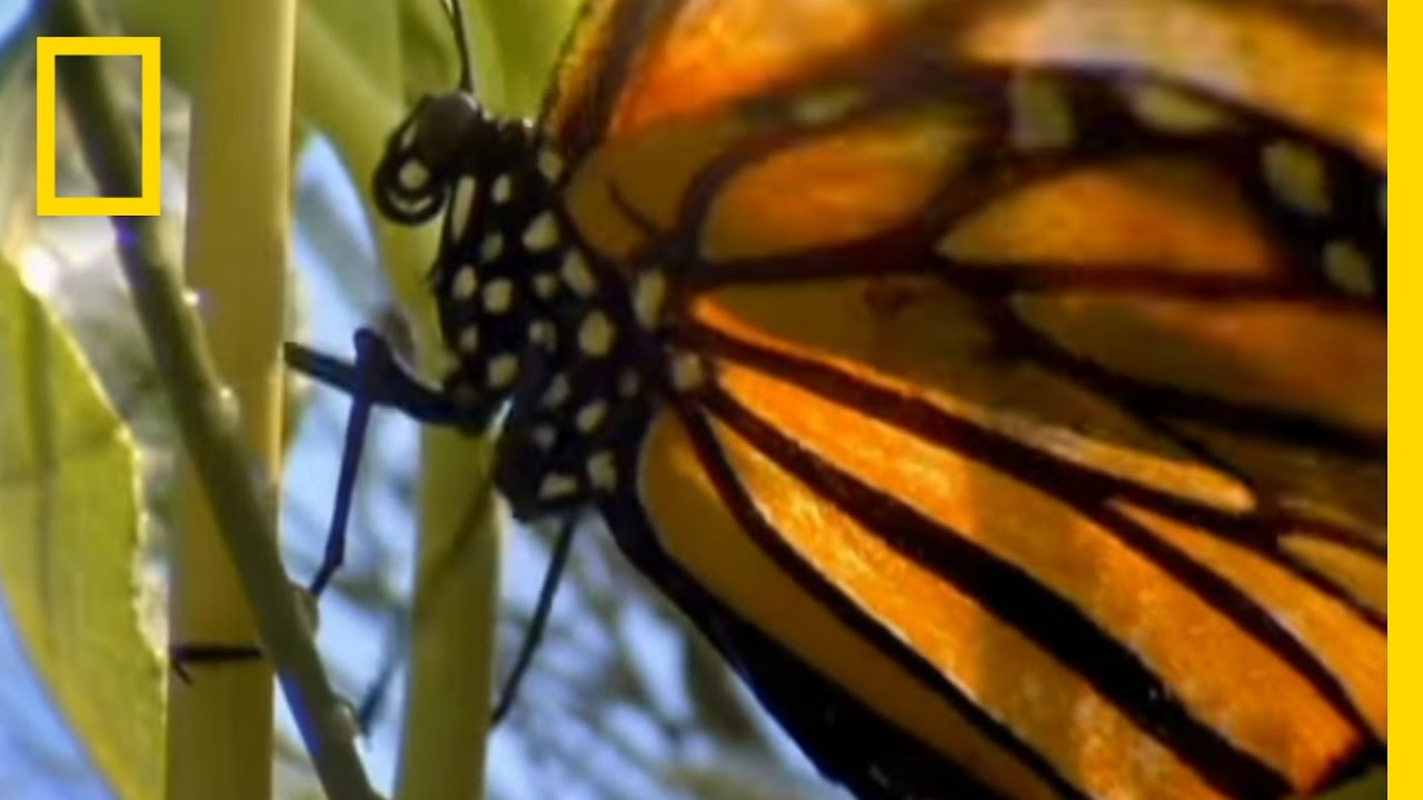 Monarch Navigation | National Geographic thumbnail