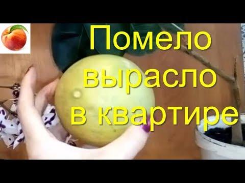 Помело Как вырастить в Квартире Апрель Уход Плоды Помело Лимоны дома Pomelo Шеддок
