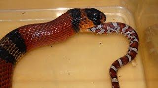 Snake Eats Snake Time Lapse (Milksnake Eats Cornsnake)