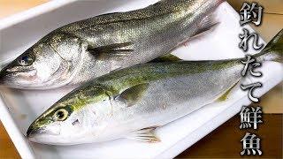 獲れたての鮮魚を捌いてブリブリのお刺身をいただきました!!!