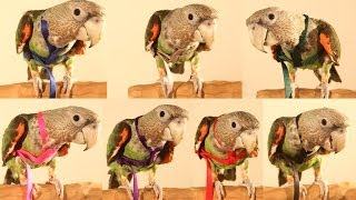 Truman Parrot Samples 7 Colors of Aviator Harness