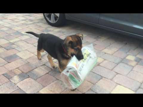 Puppy delivering newspaper --  struggles