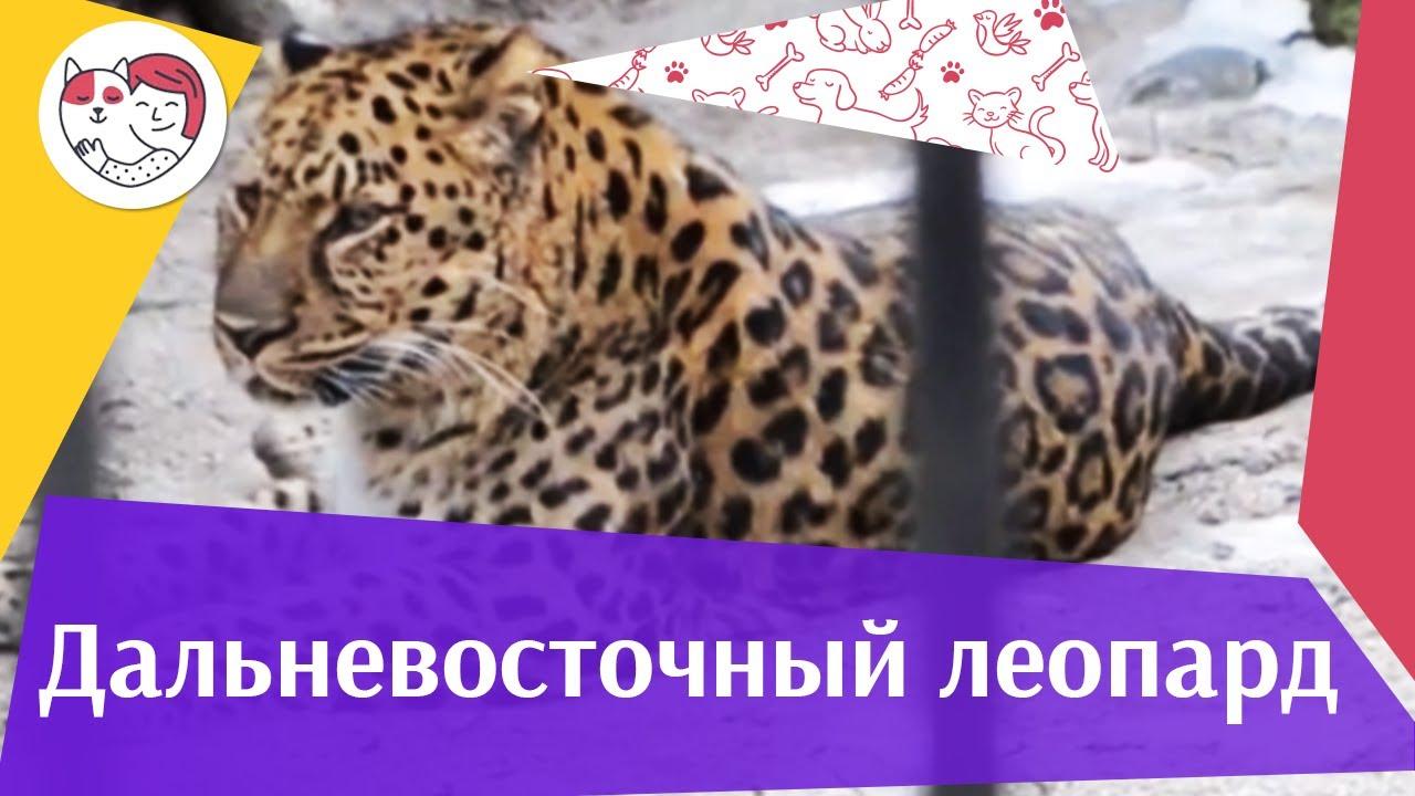 Дальневосточный леопард Образ жизни на ilikepet