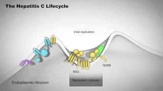 The Hepatitis C Lifecycle