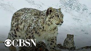 Hidden cameras help save endangered snow leopards in Siberia
