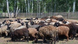 Брадзот у овец: симптомы, лечение и профилактика болезни