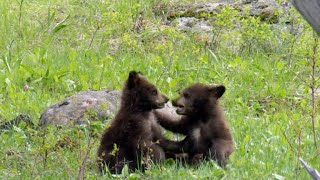 Nature: Bear Cubs