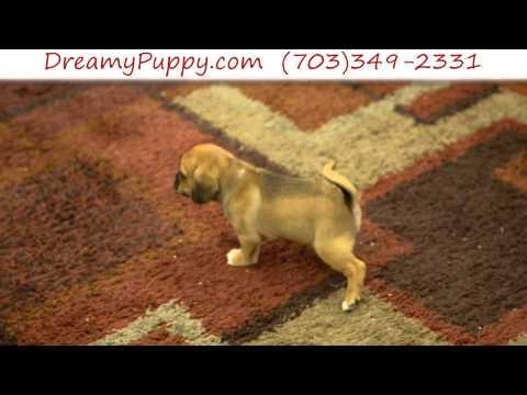 Stunning Puggle Male Puppy 4