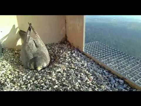 Peregrine Falcon Summary - Part 1
