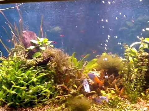 Крупные рыбы в аквариуме с живыми растениями.