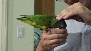 Kili Senegal Parrot - Petting My Senegal Parrot