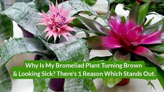 Why Is My Bromeliad Plant Turning Brown & Looking Sick? / Joy Us Garden