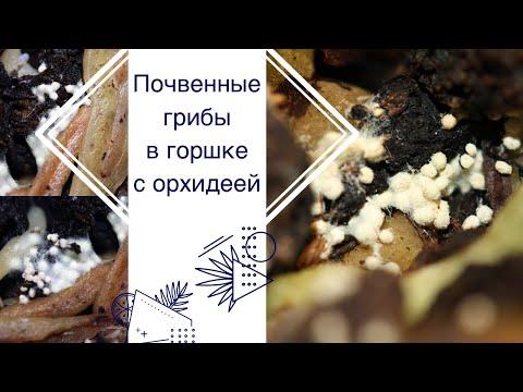 Почвенные грибы в орхидее. Что это и как бороться.