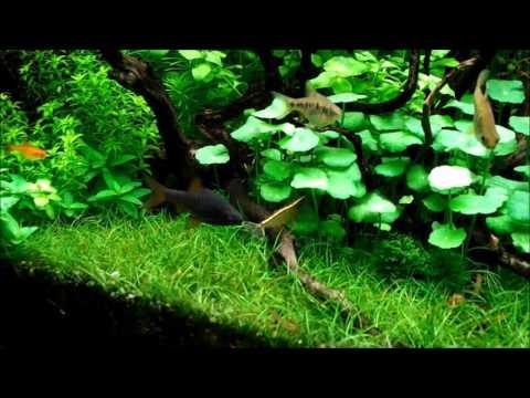 60cm大磯水草水槽の生体紹介