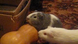Морские свинки Рокки и Снежка едят тыкву
