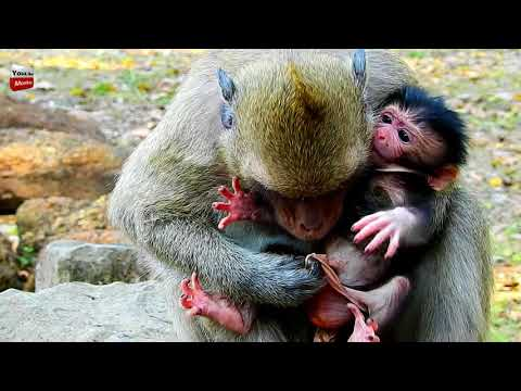 Dana wants to cut thing on new baby monkey then baby die/ baby hurts cry loudly Youlike Monkey 1365