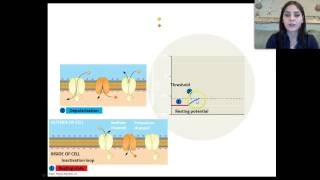 How the Neuron works Part I