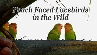 Peach Faced Lovebirds in the Wild 4K UHD