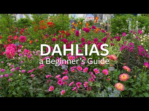 Dahlias: A Beginner's Guide