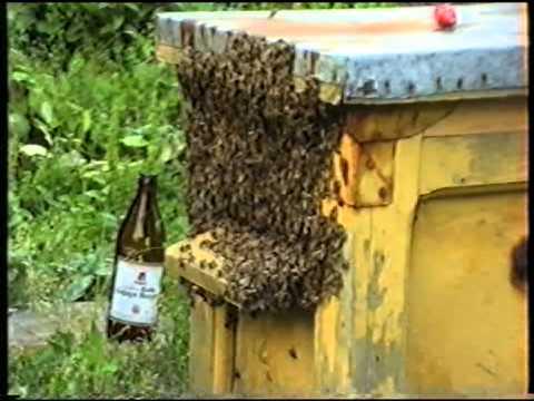 Da li je moguće liječiti prostatitisa pčela