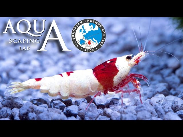 4th European Shrimps Contest Petsfestival (caridina e neocaridina) by Aquascaping Lab PARTE 2