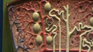 Kidney - Renal Lobe (Cortex & Medulla)
