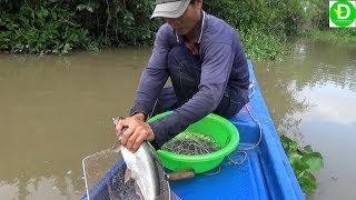Giăng câu diền bằng mồi chuối chín dính cá tra thật đã l Catch fish during flood season