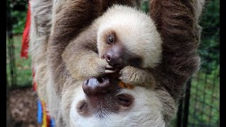 Meet Waffles, The Baby Sloth At The Staten Island Zoo
