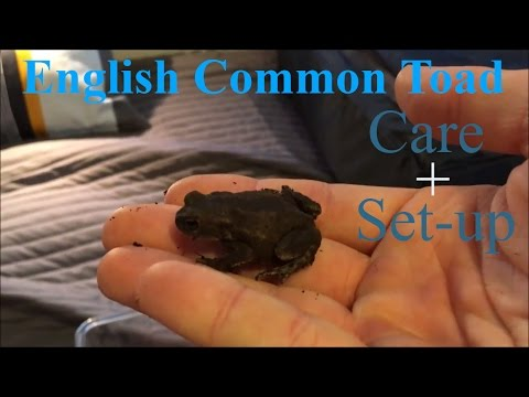 English Common Toad Care+set Up Mp3